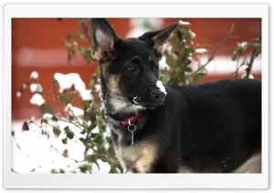 German Shepherd Puppy Snow