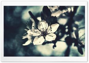 Cherry Flower, Bokeh