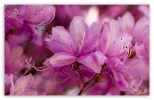 Download Pink Spring Flowers Bokeh UltraHD Wallpaper