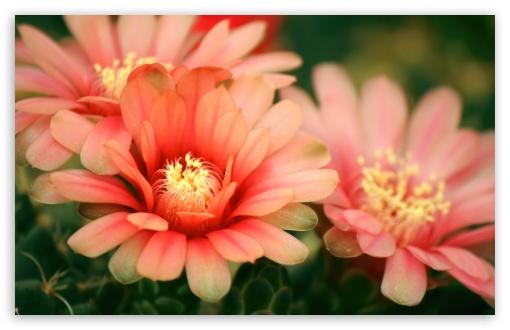 Download Cactus Flowers UltraHD Wallpaper