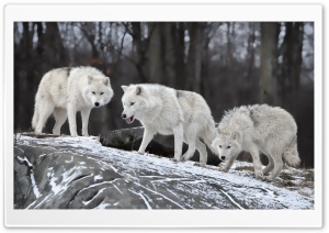 White Wolves Pack