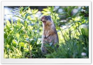 Marmot Still Screaming