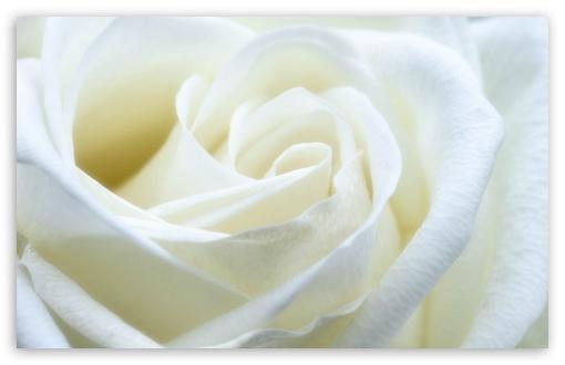 Download White Rose UltraHD Wallpaper