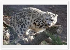 Snow Leopard, Hellbrunn Salzburg