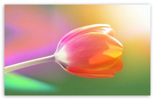 Download Single Tulip UltraHD Wallpaper