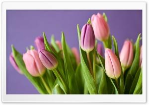 Pink Tulips Spring