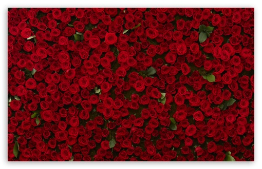 Download Many Red Roses UltraHD Wallpaper