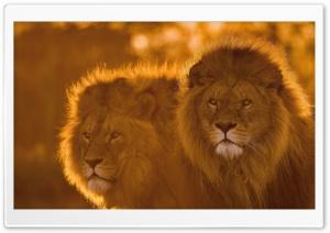 Lions, Animals, Wildlife