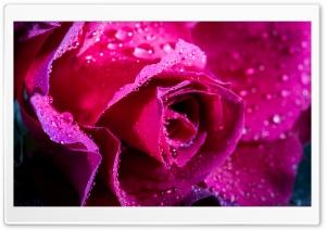 Rose Flower, Magenta Color,...