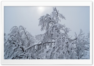 Birches With Snow