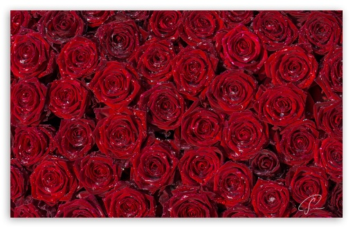 Download Red Roses Background UltraHD Wallpaper