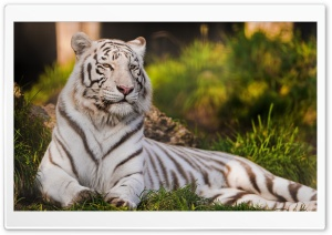 White Tigress Lying in the Grass