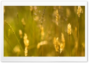 Golden Grass Seeds