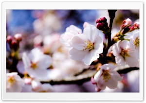 White Spring Flowers On A...