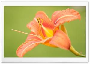 Beautiful Orange Lily Flower,...