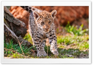 Jaguar Cub, Karlova Ves,...