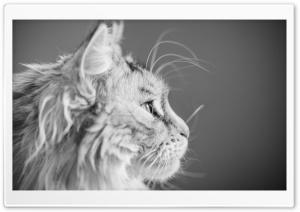 Focused, Maine Coon Cat,...