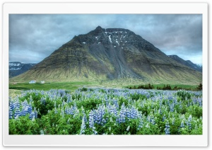 Blue Lupins, Mountain
