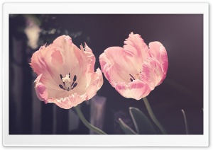 Two Light Pink Tulips Flowers