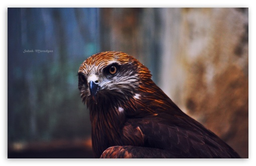 Download Eagle UltraHD Wallpaper