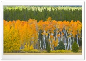 Golden Aspens, Grand Teton...