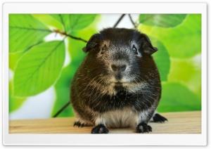Guinea Pig, Spring