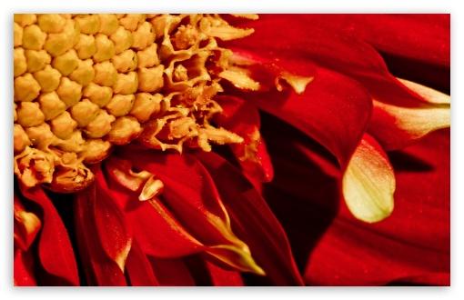Download Red Flower Close-up UltraHD Wallpaper