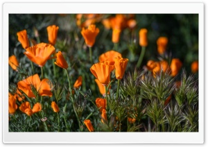 California Poppies Field Flowers