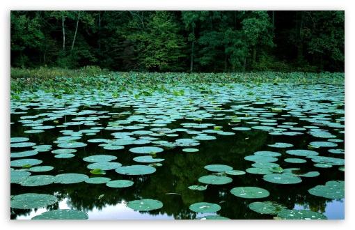 Download Water Lilies UltraHD Wallpaper