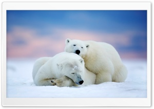 Alaska Two White Bears