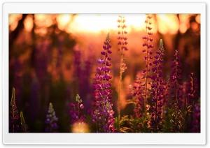 Lavender, Lupine