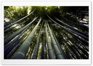Japanese Giant Bamboo
