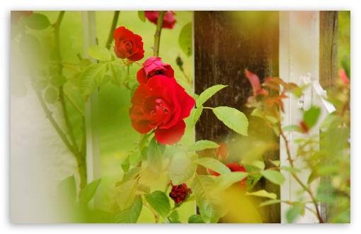 Download Red Roses   Rosarium Utrecht UltraHD Wallpaper