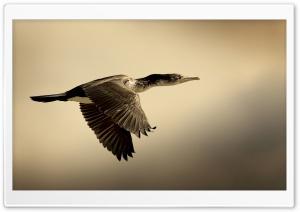 Shag Bird