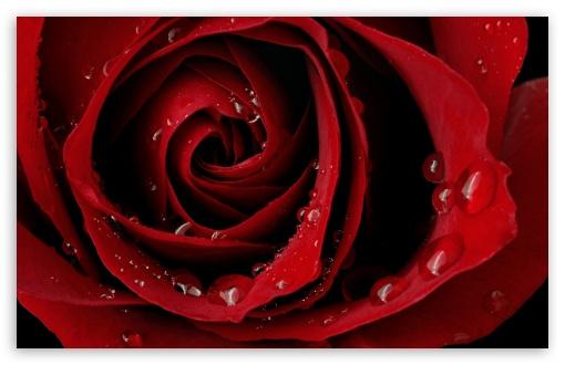 Download Red Rose UltraHD Wallpaper