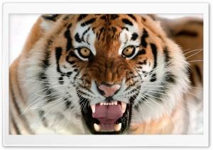 Tiger Roar Face