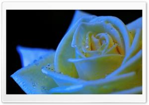 Rose Black Light