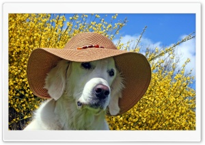 Labrador Wearing Beach Hat