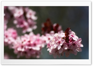 Pink Cherry Plum Blossoms