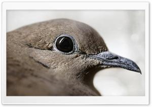 Picui Ground Dove Bird
