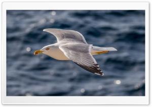 European Gull, Silbermve