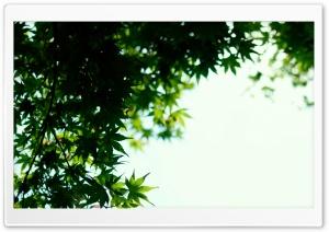 Maple Tree Summer