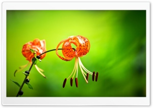 Tiger Lily Flower, Green...