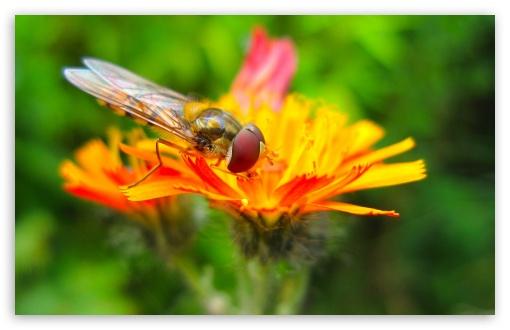 Download Hoverfly On A Orange Flower UltraHD Wallpaper