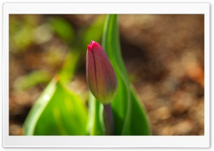 Early Spring Tulip