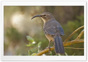 California Thrasher Bird