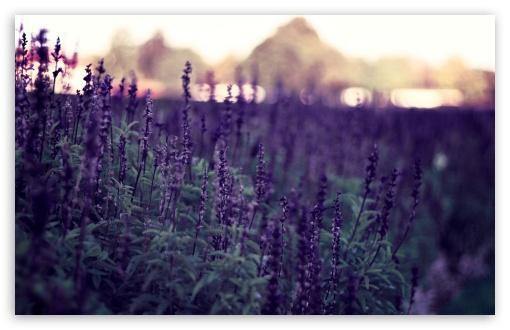 Download Lavender Flowers UltraHD Wallpaper