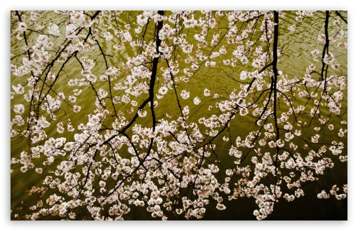 Download Sakura Branches UltraHD Wallpaper