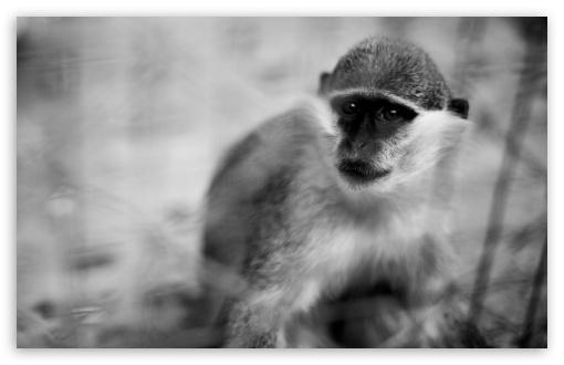Download Monkey UltraHD Wallpaper