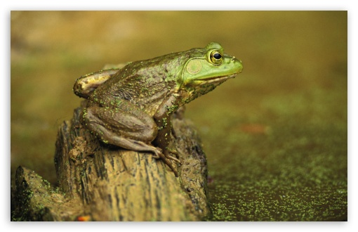 Download Green Frog And Pond Cincinnati Ohio Rana... UltraHD Wallpaper